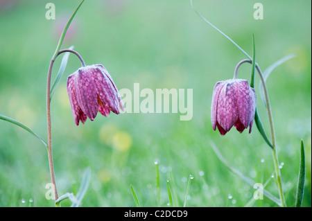 Fritillaria meleagris. Las serpientes jefe speyeria flores silvestres en la campiña inglesa. Prado norte, Cricklade, Inglaterra