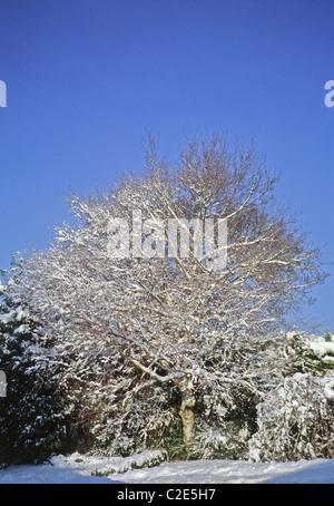 Plata abedul (Betula pendula ) en la nieve en invierno, REINO UNIDO