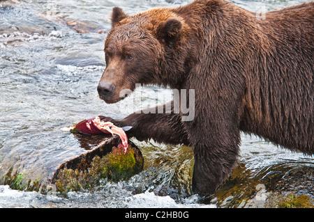 Grizzly Bear, Ursus arctos horriblis, la captura de salmón, Brooks River, Parque Nacional Katmai, Alaska, EE.UU.