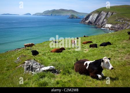 Vacas que descansaban sobre Coumeenoole Bay, la península Dingle, Condado de Kerry, Irlanda.