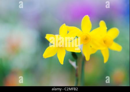 Narcissus assoanus. Narcisos Miniatura flores. Resumen