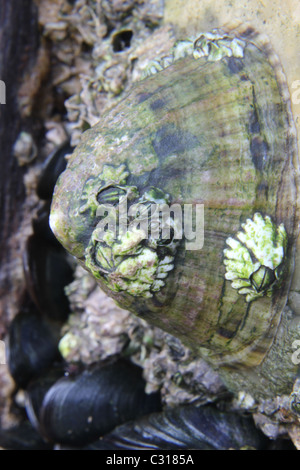 Common Limpet, Patella vulgata
