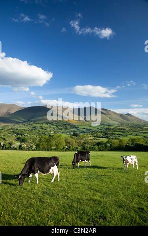 Las vacas que pastan en la Cañada de Aherlow, bajo las montañas Galtee, Condado de Tipperary, Irlanda.
