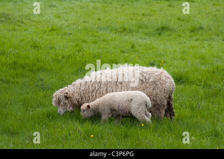 Cotswold ( León ) ovejas / ovino y caprino: Pastoreo en pasto largo. Cotswolds, REINO UNIDO