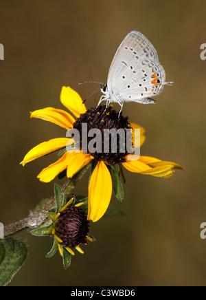 Una pequeña mariposa, la región oriental de colas, Everes comyntas Hairstreak Azul, Comedor de Black Eyed Susan Foto de stock