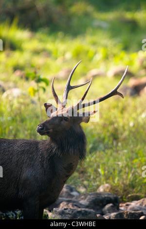 Macho de ciervo Sambar (Rusa unicolor equinus AKA Cervus unicolor) en Huai Kha Kaeng, Tailandia.