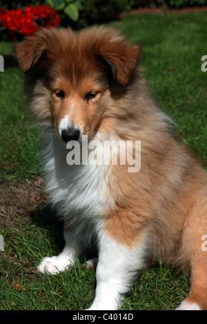 Rough Collie cachorro