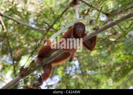 Perú, Cruz de Mayo, Parque Nacional Manu, montañas de Pantiacolla. Mono aullador (Alouatta seniculus ).