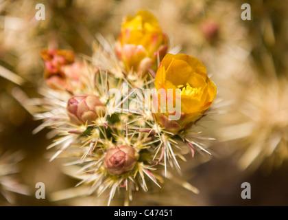 Cholla cactus en flor - Mojave, California, EE.UU.