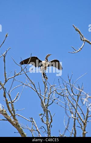 Cormoranes, aves Magnolia Plantation & Gardens, cerca de Charleston, Carolina del Sur, EE.UU.