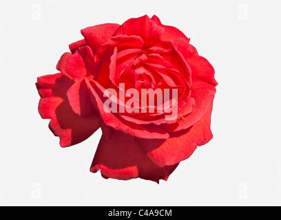 Cerca de la cabeza de la flor rosa trepador rojo con pétalos abrir
