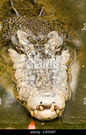 (De agua salada) estuarinas (Crocodylus porosus) en el zoológico tropical de Cairns en Queensland Australia
