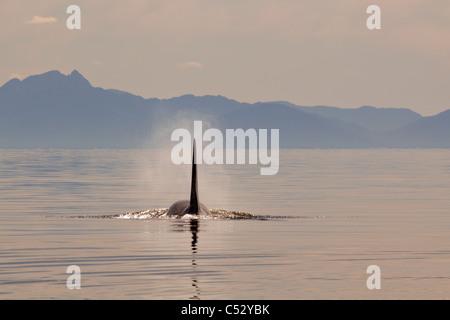 Tall aleta dorsal de una Orca macho adulto grande aflora en el Estrecho de Chatham al atardecer, dentro del pasaje, Alaska