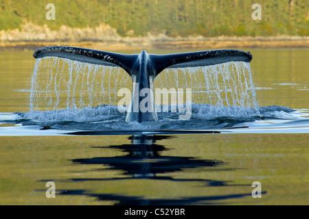 Ballena Jorobada bucear en las profundidades de Frederick Sonido con cola visible de Fluke, Admiralty Island, dentro del pasaje, Alaska