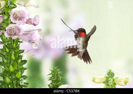 Ruby-throated Hummingbird en Foxglove Foto de stock