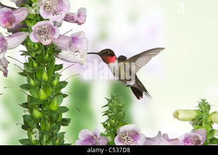 Ruby-throated Hummingbird buscando el néctar de las flores Foxglove Foto de stock
