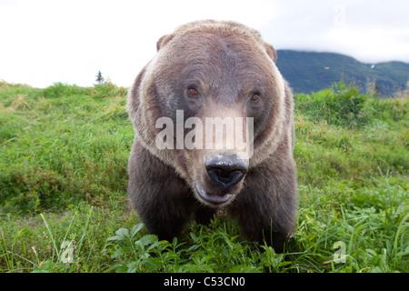 Cerrar vista gran angular de un oso pardo en el Centro de Conservación de la vida silvestre de Alaska, Southcentral Alaska, verano. Cautiva