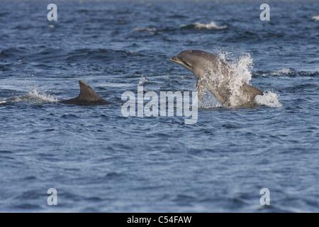 Ternero delfín mular (Tursiops truncatus), rompiendo la superficie, Moray Firth (Escocia, Reino Unido) Foto de stock