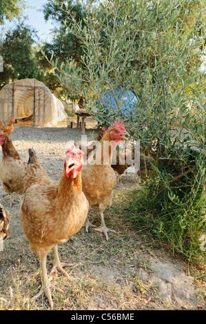 En una granja de pollos