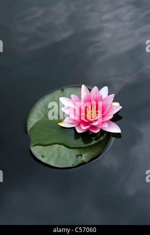 Los Países Bajos, 's-Graveland. Water Lilies Foto de stock