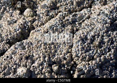 Comunes de las lapas y percebes Rubha Acorn Playa Ardnish Breakish Broadford Isla de Skye Escocia