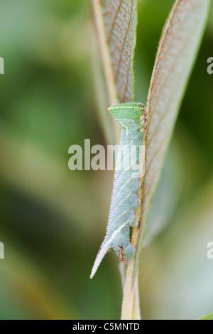 Eyed Hawkmoth Larva; Smerinthus ocellata;