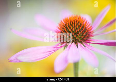 Imagen cercana de la floración verano Equinacea - Echinacea purpurea flores rosas, imagen tomada contra un fondo suave Foto de stock
