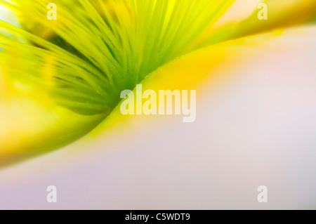 Islandia amarillo amapola (Papaver nudicaule), close-up