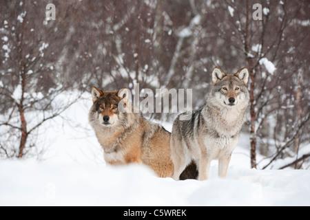 Unión lobo gris (Canis lupus), macho y hembra alfa en invierno (tomadas en condiciones controladas). Noruega.