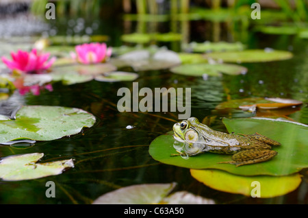 Rana Verde flotando sobre una hoja de lirio de agua en un estanque con flores de color rosa