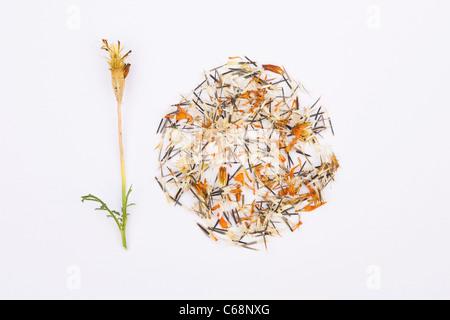 Tagetes patula . Marigold semillas y seedhead sobre un fondo blanco.