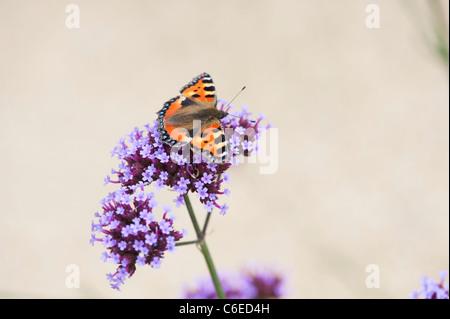 Aglais urticae. Tortoiseshell pequeña mariposa sobre la Verbena bonariensis flores en un jardín inglés. UK Foto de stock