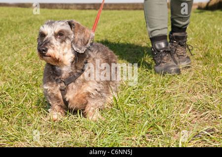 Una miniatura Wirehaired Teckel perro en una derivación con las botas de un caminar en el campo femenino