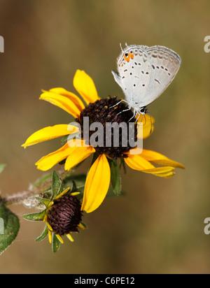 Una pequeña mariposa, la oriental, Everes Tailed-Blue Hairstreak comyntas, Comedor de Black Eyed Susan Nectar Foto de stock