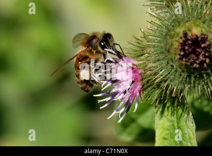 Europa Occidental o la abeja de miel, Apis mellifera, Apinae, Apidae, Apocrita, Hymenoptera syn Apis mellifica