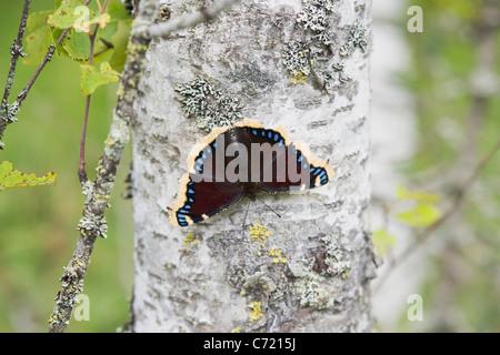 Camberwell belleza o manto (Nymphalis antiopa luto) en el verano de abedul Foto de stock