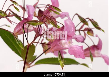 Bálsamo del Himalaya (Impatiens gladulifera) flores y vainas
