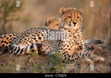 Cachorro de guepardo (Acinonyx jubatus), Phinda Game Reserve, Sudáfrica Foto de stock