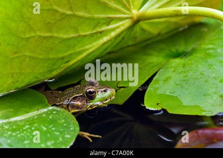 Rana Verde escondido en medio de Lilly pastillas en un estanque pequeño en Floyd County, Indiana