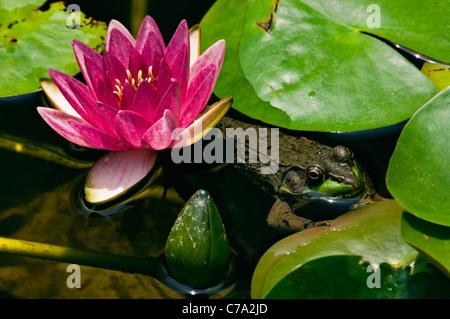 Rana Verde escondido en medio de Lilly Lilly pastillas en un estanque pequeño en Floyd County, Indiana