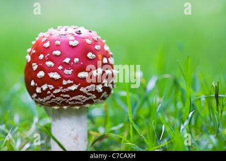 """Amanita muscaria. La del """"reig bord"""" hongo en el borde de un bosque"""
