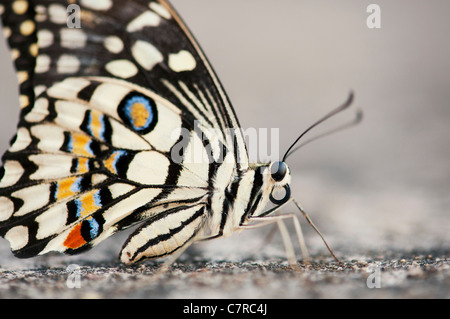 Papilio demoleus . Mariposa de cal Foto de stock
