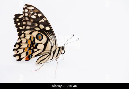 Papilio demoleus . Lime mariposa sobre fondo blanco. Foto de stock