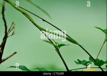 Ahaetulla prasina, comúnmente conocida como la vid de Asia Oriental o serpiente whipsnake, es un árbol generalizada serpiente encontrada en Asia