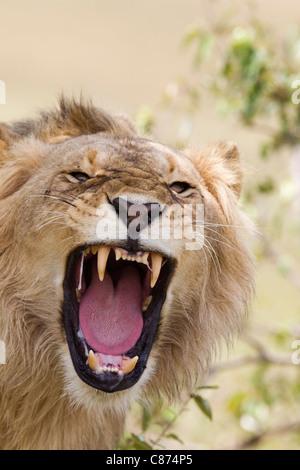 Macho joven león rugiente, Reserva Nacional de Masai Mara, Kenya Foto de stock