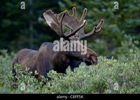 Bull moose (Alces alces) en terciopelo, Bosque Nacional Roosevelt, Colorado, Estados Unidos de América