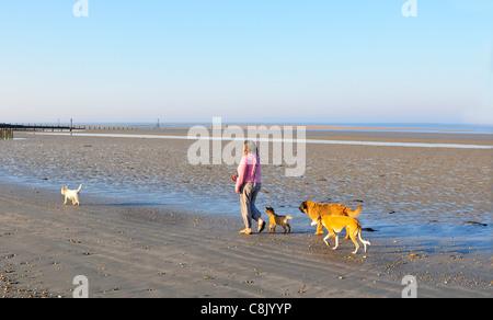Caminante de perros tomando 4 perros para un paseo a lo largo de la playa en marea baja en West Wittering Beach, Nr. Chichester, West Sussex, Inglaterra, Reino Unido