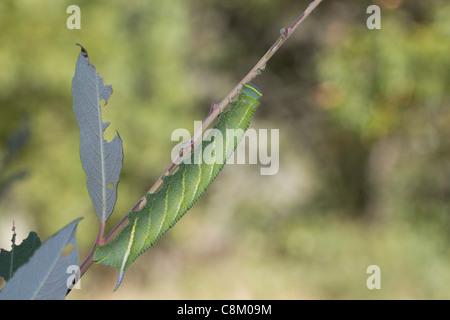 Eyed Hawkmoth (Smerinthus ocellata)