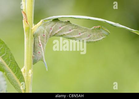 Eyed hawkmoth (smerinthus ocellata) Caterpillar