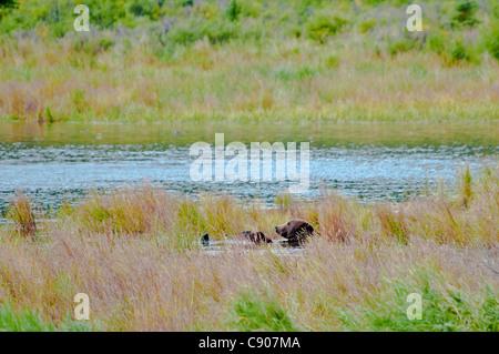 Grizzly Bear, Ursus arctos horriblis, relajante sobre su espalda en el Brooks River, Parque Nacional Katmai, Alaska, EE.UU.